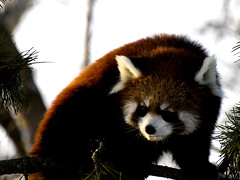 giant panda(0.0), animal(1.0), raccoon(1.0), red panda(1.0), mammal(1.0), fauna(1.0), whiskers(1.0), wildlife(1.0),