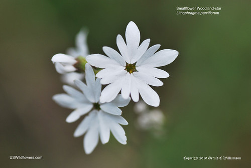 Smallflower Woodland-star - Lithophragma parviflorum