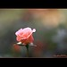 The flower which is single need not envy the thorns that are numerous...(Front Page!!) by H a s h e e d