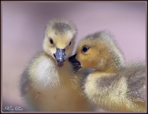 The Disagreement Between Goslings