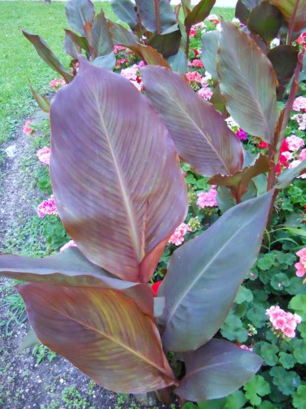 Canna indica-hybrida 'Hoja Marrón' v 3