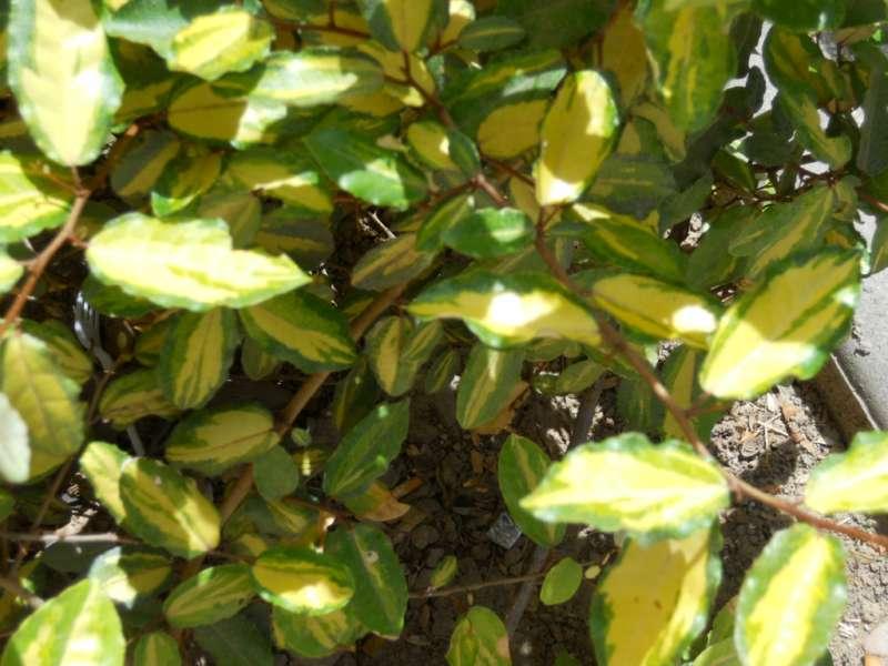 Eleagnus pungens 'Maculata' 2