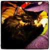 Syberian cat Poldo sleeping