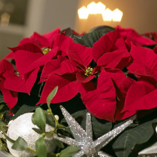 Decoración navideña con flor de pascua roja