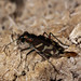 Oblique-lined Tiger Beetle - Photo (c) Ted MacRae, some rights reserved (CC BY-NC-ND)