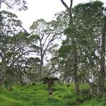 Acacia koa forest with pasture grasses