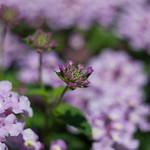 Purple Verbenaceae