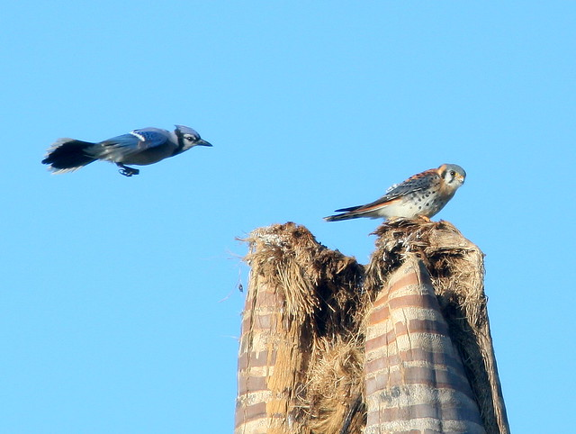 Blue Jay and Kestrel 2-20101210