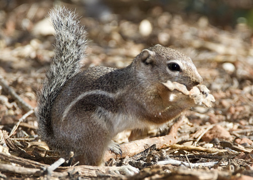 harris antelope ground squirrel _3399