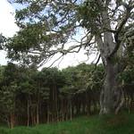 Acacia koa cull tree and 12 yr regeneration