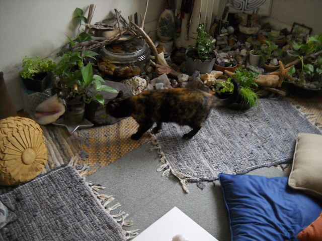 Tortoise cat in the indoor rock garden northeast corner for Indoor gardening with cats
