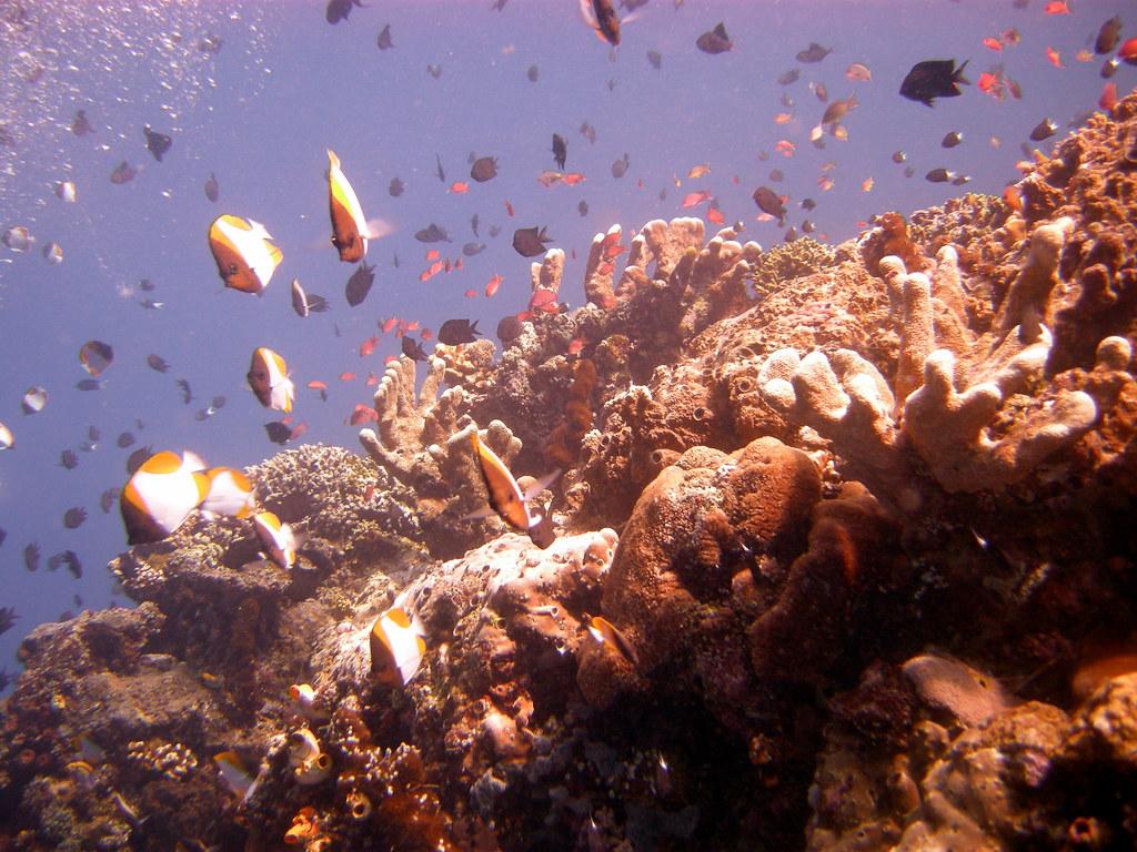 印度東南蘇拉威西豐富的底棲動物和珊瑚礁魚生態,將首當其衝,遭到前所未見的熱浪侵襲。(照片:mattk1979。)