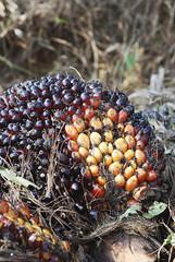 chestnut(0.0), shrub(0.0), berry(0.0), flower(0.0), soil(0.0), tree(0.0), fruit(0.0), autumn(0.0), plant(1.0), nature(1.0), macro photography(1.0), flora(1.0), produce(1.0), food(1.0), elaeis(1.0),