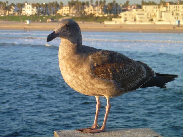 Female seagull - photo#2