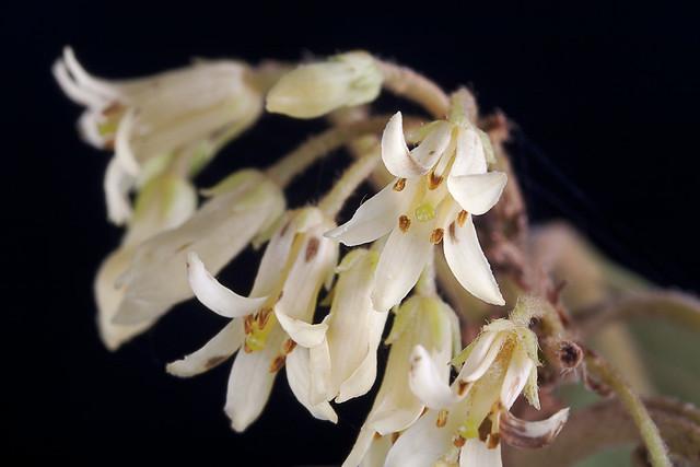 Pittosporum ferrugineum flowers