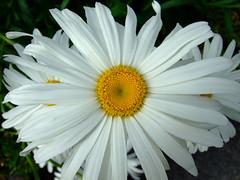 Agryanthemum