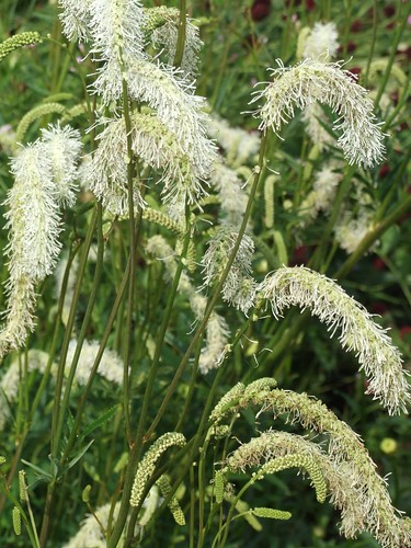 SANGUISORBA 'Ivory Towers'