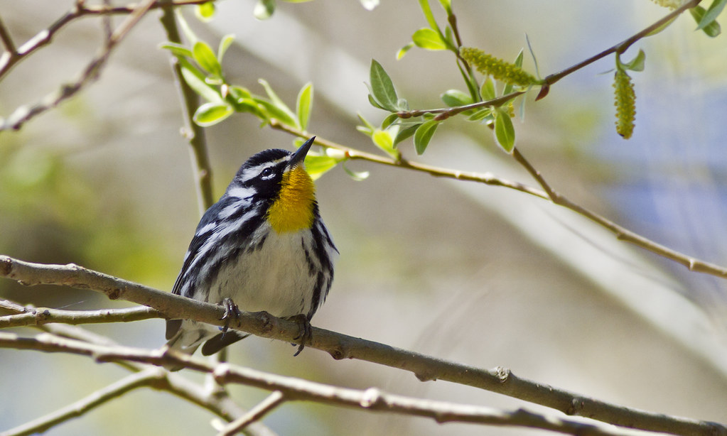 Image result for yellow-throated warbler michigan