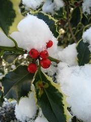 blossom(0.0), flower(0.0), shrub(1.0), branch(1.0), leaf(1.0), snow(1.0), plant(1.0), flora(1.0), produce(1.0), frost(1.0), aquifoliaceae(1.0), aquifoliales(1.0),