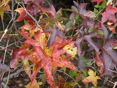 Autumn leaves Walnut Creek Lake Raleigh NC 0501