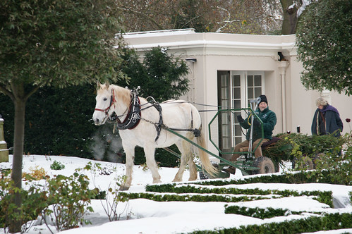 A horse from The British Horse Loggers pulls the Clarence House Christmas Tree