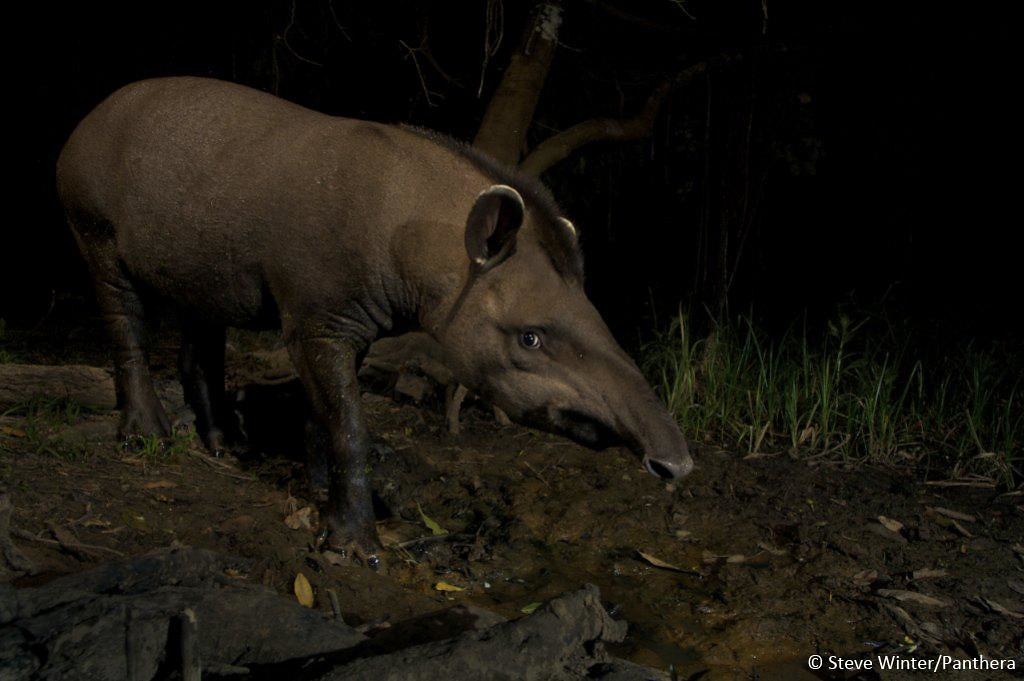 Camera trap image of a tapir