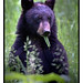 Black Bear Eating-8844-W.jpg by RobsWildlife.com © TheVestGuy.com