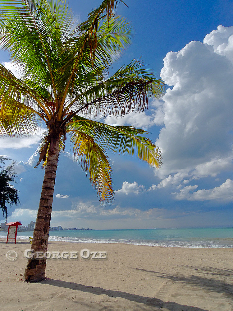 Palm Tree on Carolina Beach, San Juan, Puerto Rico
