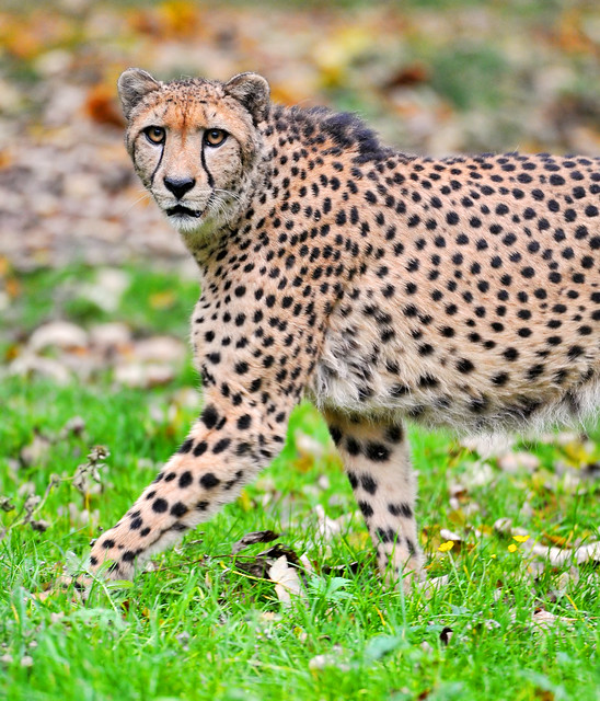 Big Cats 7 (and small wild cats too) - a gallery on Flickr