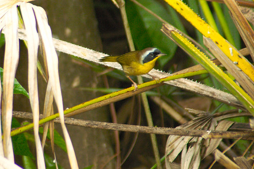 male bird nature wildlife shrubs naturesbest wetland birdwatcher yellowthroat naturesfinest anawesomeshot birdperfect
