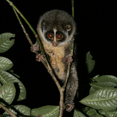 marmoset(0.0), new world monkey(0.0), animal(1.0), pygmy slow loris(1.0), loris(1.0), primate(1.0), fauna(1.0), wildlife(1.0),