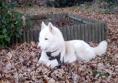 rebecca ( husky)
