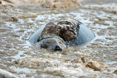 grey seal England