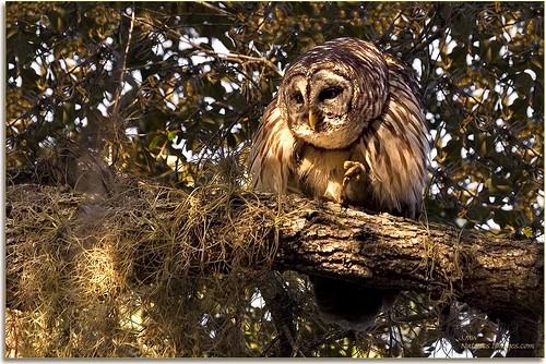 birds closeup parks 100400mm raptors owls professionalphotographer barredowl stateparks floridaimages floridastateparks photoworkshops phototourguide