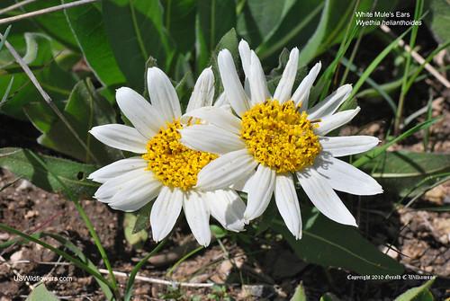 White Mule's Ears  - Wyethia helianthoides