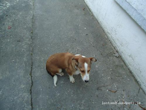 Sun, Jan 23rd, 2011 Found Male Dog - The Local Area, Ashford, Limerick