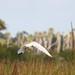 Small photo of American White Ibis (Eudocimus albus)