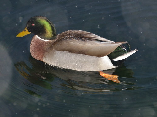 Grand Duck