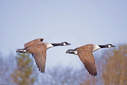Branta canadensis Canada Goose Kanadagås