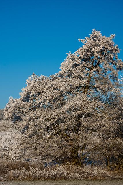 Frosted alder
