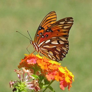 12 Days of Christmas Butterflies - #3 Gulf Fritillary
