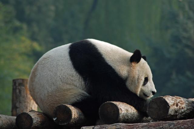 北京动物园熊猫馆 giant