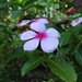 Small photo of Vinca flower