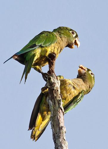 Aztek Parakeet (Aratinga astec)