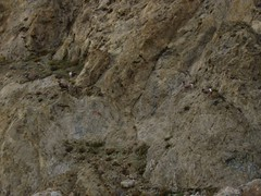 Desert Bighorn Sheep, Walker Lake, Nevada (3)