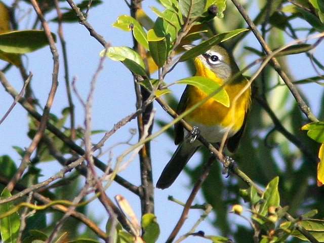 Yellow-breasted Chat 20101231