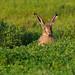 Brown Hare (Lepus europaeus) by Chris Sharratt
