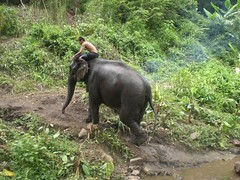 zoo(0.0), ape(0.0), animal(1.0), indian elephant(1.0), elephant(1.0), elephants and mammoths(1.0), fauna(1.0), mahout(1.0), jungle(1.0), safari(1.0), wildlife(1.0),