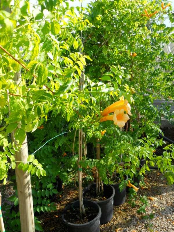 Bignonia campsis radicans 'Flava' v 3