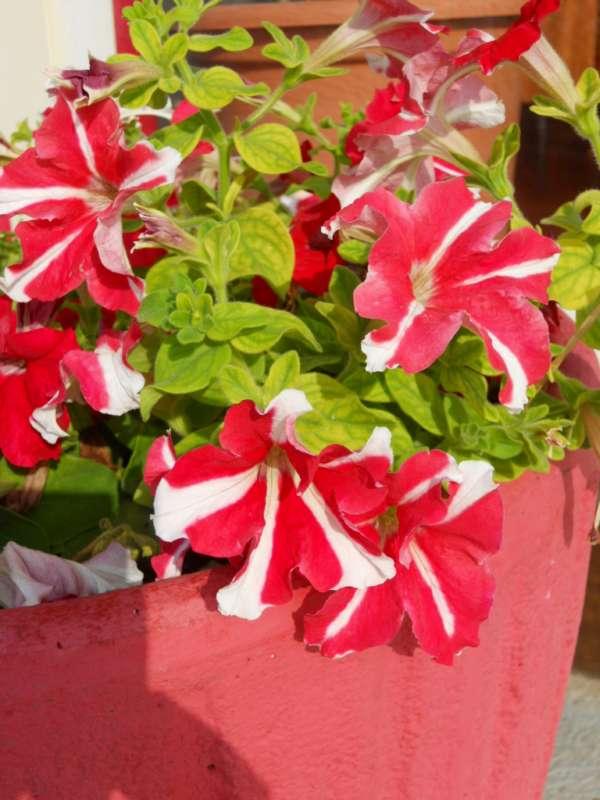 Petunia multiflora v 1